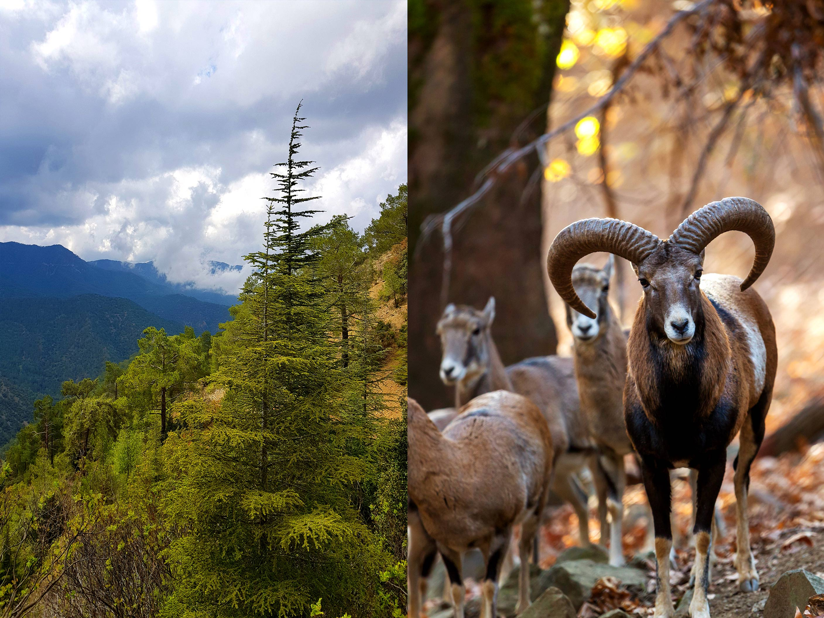CEDAR-VALLEY-MOUFLON